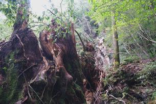 2010年9月に倒壊した翁杉の写真素材 [FYI04047308]