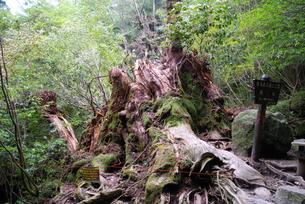 2010年9月に倒壊した翁杉の写真素材 [FYI04047309]
