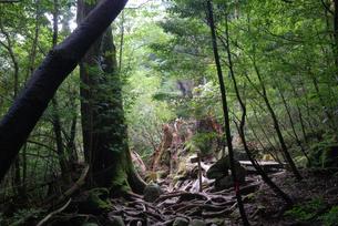 2010年9月に倒壊した翁杉の写真素材 [FYI04047311]