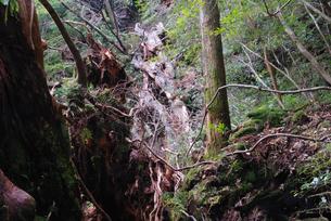 2010年9月に倒壊した翁杉の写真素材 [FYI04047312]