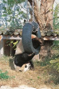 遊具で遊ぶジャイアントパンダの写真素材 [FYI04047347]