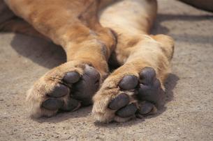 ライオンの後ろ足の裏の写真素材 [FYI04047359]