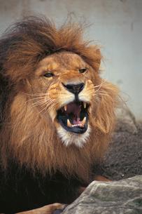 吠えるライオンのオスの写真素材 [FYI04047361]