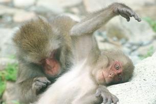 グルーミングをする日本猿の親子  波勝崎 伊豆の写真素材 [FYI04047754]