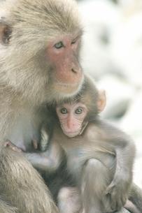 子供を抱く日本猿   波勝崎 伊豆の写真素材 [FYI04047759]