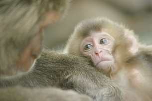 日本猿の親子 波勝崎 伊豆の写真素材 [FYI04047761]