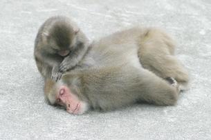 グルーミングをする日本猿の親子 波勝崎 伊豆の写真素材 [FYI04047764]
