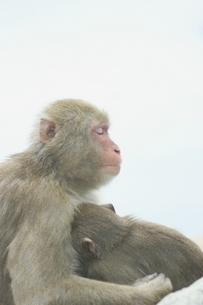 子供を抱いて目を閉じる日本猿 波勝崎 伊豆の写真素材 [FYI04047766]
