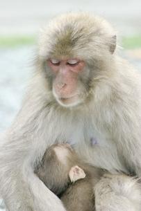 子供を抱く日本猿 波勝崎 伊豆の写真素材 [FYI04047767]