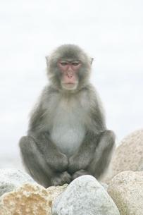 岩に座る日本猿 波勝崎 伊豆の写真素材 [FYI04047773]
