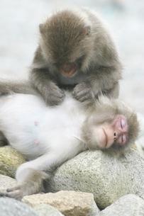 グルーミングをする日本猿の親子 波勝崎 伊豆の写真素材 [FYI04047776]