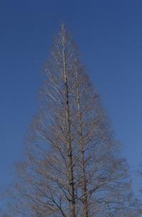 樹木と青空の写真素材 [FYI04047911]