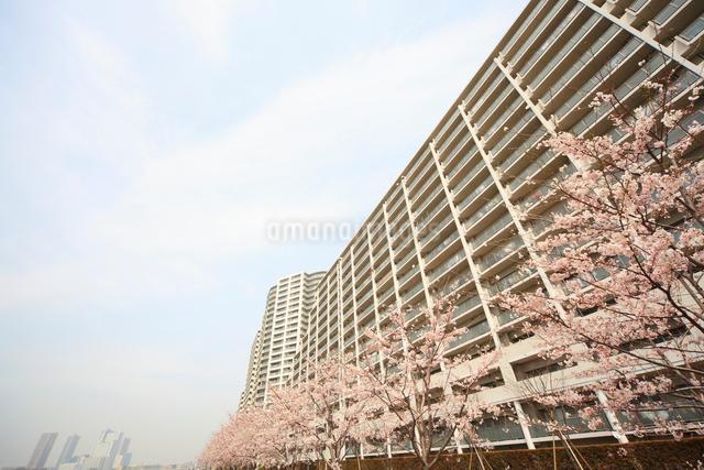 河原に咲く桜と高層マンション群の写真素材 [FYI04048248]