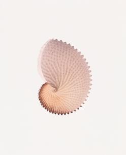 チリメンアオイ貝の写真素材 [FYI04048317]