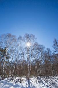 冬の白樺林の写真素材 [FYI04049512]