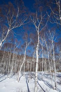冬の白樺林の写真素材 [FYI04049542]