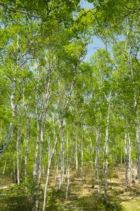 新緑のシラカバ林の写真素材 [FYI04049582]