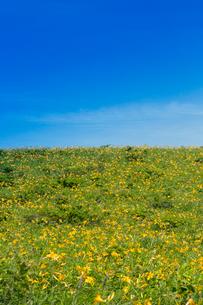 霧が峰車山高原のニッコウキスゲの写真素材 [FYI04049611]
