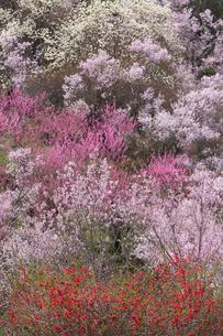 春爛漫の花見山の写真素材 [FYI04049698]