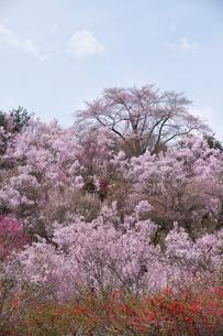 春爛漫の花見山の写真素材 [FYI04049699]