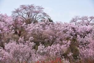 春爛漫の花見山の写真素材 [FYI04049700]