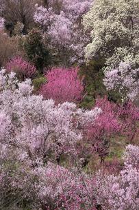 春爛漫の花見山の写真素材 [FYI04049702]