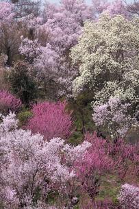 春爛漫の花見山の写真素材 [FYI04049703]