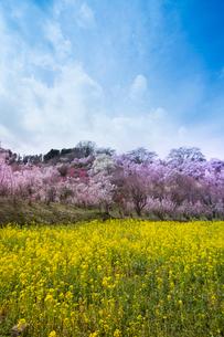春爛漫の花見山の写真素材 [FYI04049704]