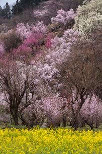 春爛漫の花見山の写真素材 [FYI04049705]