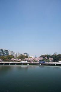 桜が満開の千鳥ヶ淵と首都高速都心環状線の写真素材 [FYI04049785]