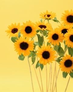 ヒマワリの花の写真素材 [FYI04049899]