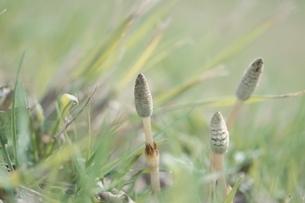 草と芽吹く3本のつくし 世羅町 広島県 4月の写真素材 [FYI04049903]