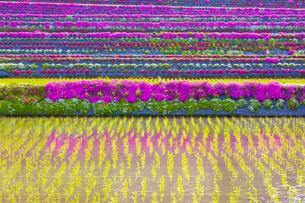 芝桜と水田の写真素材 [FYI04050015]