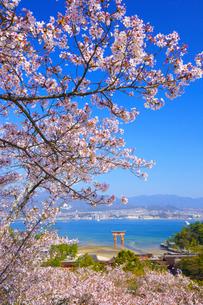 桜と大鳥居の写真素材 [FYI04050037]