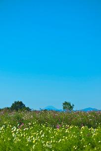 青空に1000万本のコスモス畑と山並の写真素材 [FYI04050166]