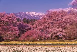日蓮宗大津山実相寺で甲斐駒ケ岳と桜とラッパスイセンの写真素材 [FYI04050269]