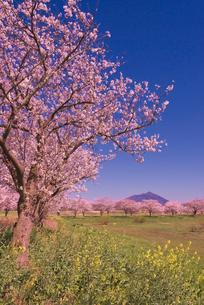 青空に日本百名山の筑波山と桜並木とナノハナの写真素材 [FYI04050271]