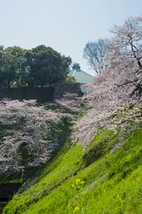 牛ガ淵のソメイヨシノと日本武道館の写真素材 [FYI04050370]