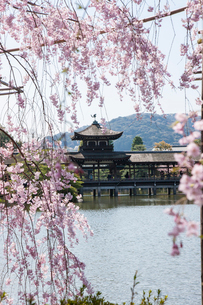 春の平安神宮神苑 紅しだれ桜の写真素材 [FYI04050612]