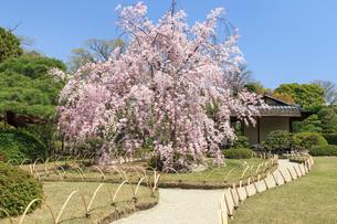 城南宮 桜咲く桃山の庭の写真素材 [FYI04050616]