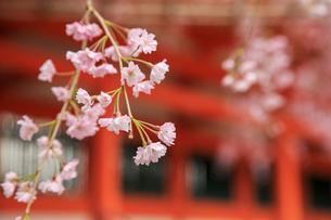 ベニシダレザクラ咲く平安神宮の写真素材 [FYI04050716]