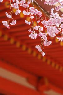 ベニシダレザクラ咲く平安神宮の写真素材 [FYI04050719]