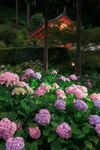 ライトアップされる三室戸寺のアジサイ園の写真素材 [FYI04050744]