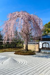 しだれ桜咲く高台寺波心庭の写真素材 [FYI04050781]