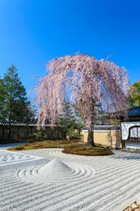 しだれ桜咲く高台寺波心庭の写真素材 [FYI04050782]
