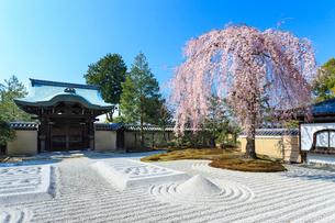 しだれ桜咲く高台寺波心庭と勅使門の写真素材 [FYI04050792]