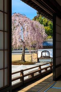 高台寺方丈から見るしだれ桜咲く波心庭の写真素材 [FYI04050800]