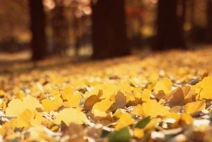 落ち葉と林の写真素材 [FYI04051161]