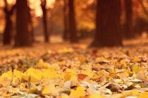 落ち葉と林の写真素材 [FYI04051162]