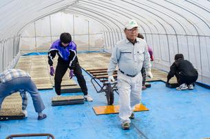苗床作り 苗床をビニールハウスへ搬入、敷き詰めの写真素材 [FYI04051175]